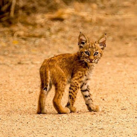 bobcat kitten  by Todd Wood - Animals Lions, Tigers & Big Cats (  )
