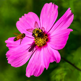 Playground for the Bees by Ronnie Sue Ambrosino - Flowers Single Flower ( pink, bee, pollination, nature, yellow jacket, pink flower, flower,  )