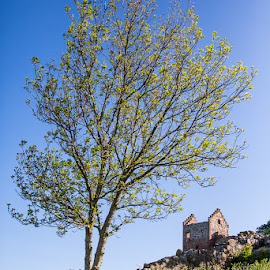 Alone in a hill by Kim Mortensen - Nature Up Close Trees & Bushes ( bornholm, hill, tree, ruin, hammershus, denmark,  )