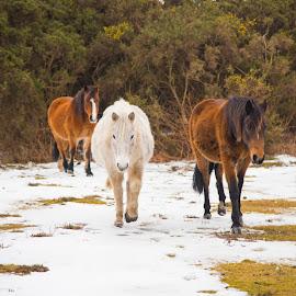 Horses from Newforest by Sanil Photographys - Animals Horses ( newforestnationalpark, brownhorse, winter, newfores, horses, sanilphotography, snow, brokenhurst, whitehorse )