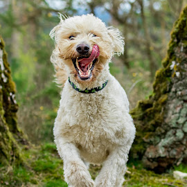 by Jenny Trigg - Animals - Dogs Running ( happy, labradoodle, labrador, dog, running, golden retriever )