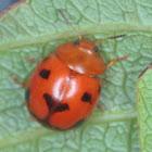 Dog Face (Leaf beetle)