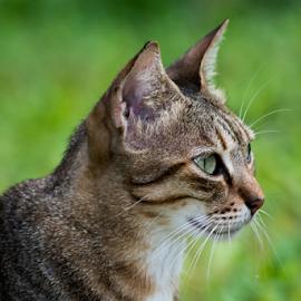 by Simona Ciglenean - Animals - Cats Portraits (  )