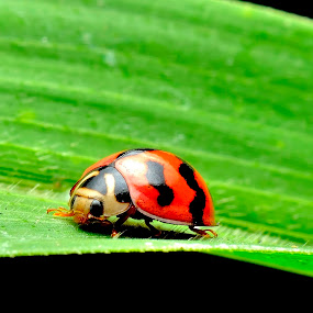 My Ladybird by Ramlan Abdul Jalil - Animals Insects & Spiders