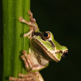 Knock, Knock by Shari Sperandeo-Bell - Animals Amphibians ( yard, frog, holding, green, mouth, watch, tree frog, shari bell, calla lilly, feet, stripe, close, eyes, climbing, nature, watching, hands, stalk, dark, brown, viewing, view, backyard )