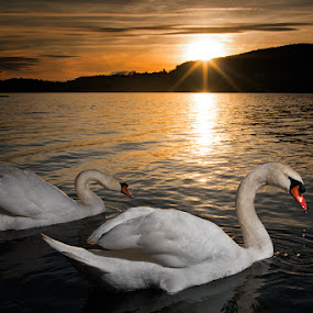 Swans at sunset by Enrico Mosca - Animals Birds ( landscape photography, strobe, sunset, backlight, birds, lake, swans )