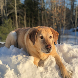 Snow Dog by Christopher Kenney - Animals - Dogs Portraits