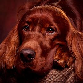 Rohan by Ken Jarvis - Animals - Dogs Portraits ( studio, irish setter, dog portrait, irish, dog )