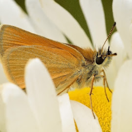 Skipper by Tarea J Roach-Pritchett - Animals Insects & Spiders ( butterfly, daisy, summer, nature close up, skipper )