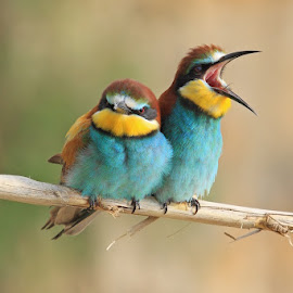 Bee-eater by Ivan Stulic - Animals Birds ( bird, merops apiaster, branch, bee-eater, colours )