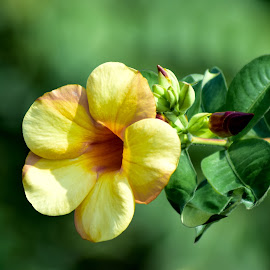 Yellow Alamanda by Achmad Sutanto - Flowers Tree Blossoms ( #alamanda, #flora, #indonesia, #yellow, #flower )