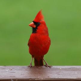 Standing Tall by Melissa Davis - Animals Birds ( bird, cardinal, male cardinal, backyard bird, birds )