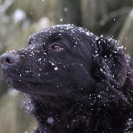 by Suzana Svečnjak - Animals - Dogs Portraits ( animals, croatian shepard dog, pets )