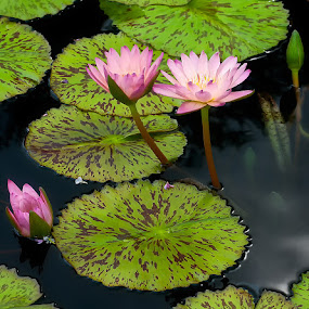 by Jon Kinney - Flowers Flower Gardens ( water, lily, gardens, flowers )