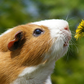 BIG HAMSTER by Danny Pover - Animals Other ( hamster, flower, small animal )