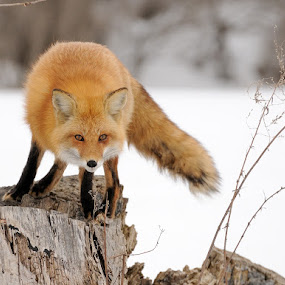 Red Fox by Rolland Gelly - Animals Other Mammals