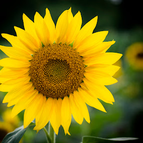 One of Few by Brian Young - Nature Up Close Gardens & Produce ( nature, sunflower. flower )