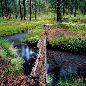 River and pines by Cristobal Garciaferro Rubio - Landscapes Forests ( pines, water, grass, trees, bridge, pine, river )