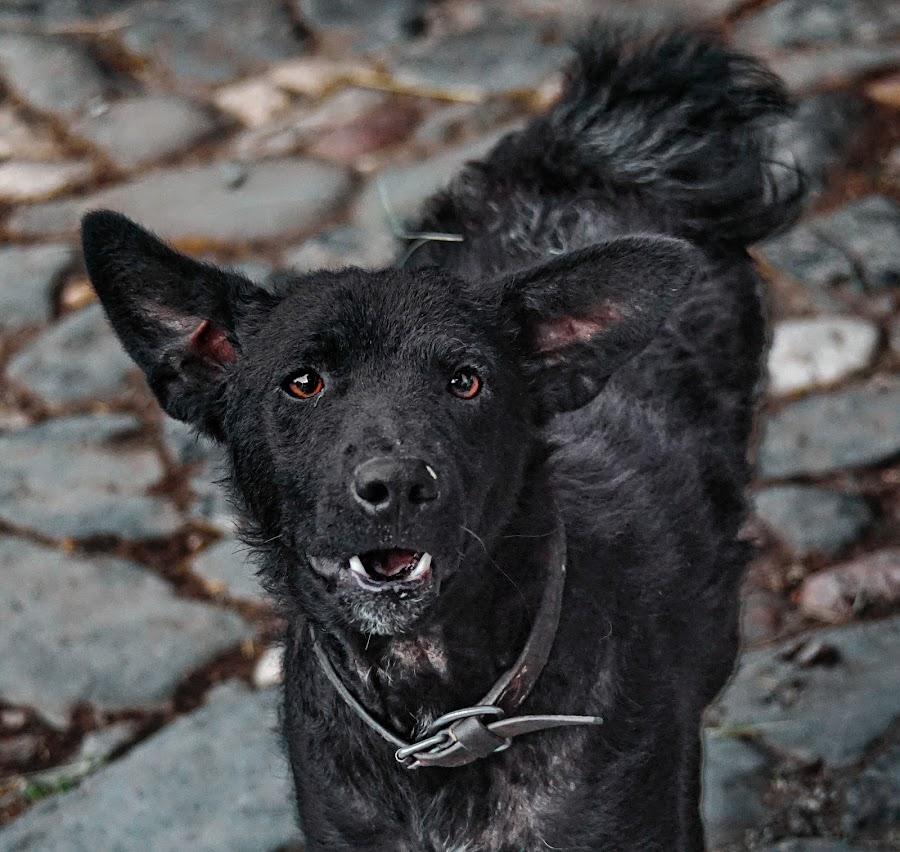 Curiosity by Dragan Nikolić - Animals - Dogs Portraits (  )