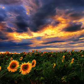 Sunstorm II. by Zsolt Zsigmond - Landscapes Sunsets & Sunrises ( clouds, sky, nature, sunset, sunflowers, landscape )