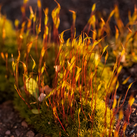 Moss in afternoon light by Vibeke Friis - Nature Up Close Other Natural Objects ( afternoon sun, moss,  )