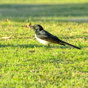 Black & white Wagtail by Mark Luyt - Animals Birds ( green, grass, bird, black and white, park )