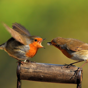 Feeding Robins by Keith Bannister - Animals Birds ( birds )