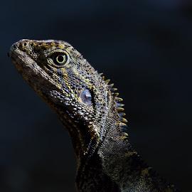 by Steve Hunt - Animals Reptiles ( queensland, australia, water dragon )