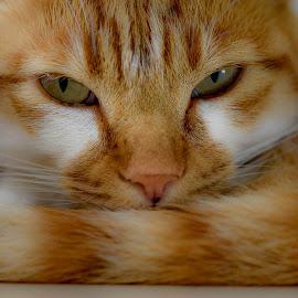 Cat portrait by Hrodulf Steinkampf - Animals - Cats Portraits ( cat, cat portrait, sleeping, feline, ginger cat )