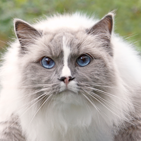 Simba by Mia Ikonen - Animals - Cats Portraits ( ragdoll, fluffy, pet, blue eyes, colorpoint coat, feline, docile )