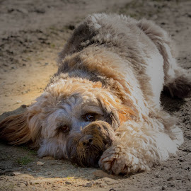 Tibetan Terrier by Jenny Trigg - Animals - Dogs Portraits ( dog portrait, dog photography, tibetan terrier, dog, dog beach )