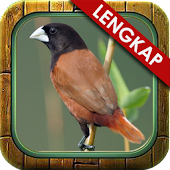 Kicau Ngekek Burung Pipit APK for Bluestacks
