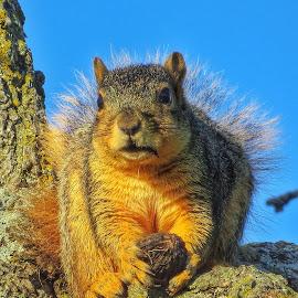 Missouri Squirrel by Phil Piburn - Animals Other Mammals