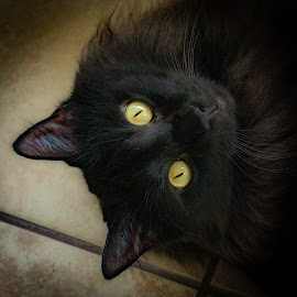 Severus #1 by Mary Phelps - Animals - Cats Portraits ( cats, cat, black, portrait, canon,  )