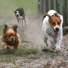 Race to the Finish! by Debby  Raskin - Animals - Dogs Portraits