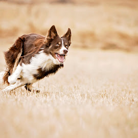 by Niclas Ådemark - Animals - Dogs Playing