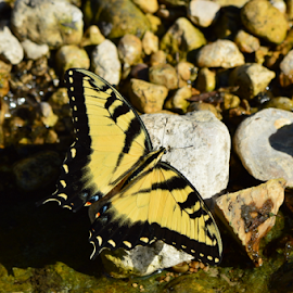 Yellow Beauty by Benito Flores Jr - Animals Insects & Spiders ( creek, butterfly, yellow, texas, killeen )