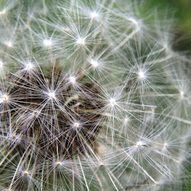 Puff Ball by Cecilia Sterling - Nature Up Close Other plants ( seed head, seed, seeds, puff ball, dandilion,  )