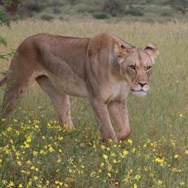 by Lanie Badenhorst - Animals Lions, Tigers & Big Cats