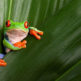 Super little frog by Gérard CHATENET - Animals Amphibians