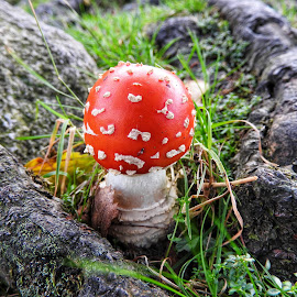 Colourful nature by Sue Walker - Nature Up Close Mushrooms & Fungi ( mushroom, red, nature, spotty, woodland, close-up )