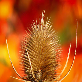 The Outsider 9700 by Karen Celella - Flowers Flowers in the Wild ( orange, wild, sharp, color, thorns, spring, flower )