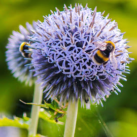 time for pollen by Andrew Barnes - Novices Only Wildlife ( plant, bees, pollen, blue, wings, buzzing, stem, yellow, stripes, flowers, black )