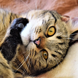 Posing by Marton Rakhel - Animals - Cats Portraits ( love, cat, happy, boy, friend )