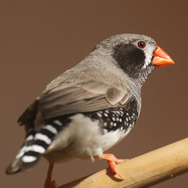 Finch by Abdul Rehman - Animals Birds ( beauty of nature, natural light, beautful, wild, colorful, zebra finch, colors, finch, beauty, mother nature, eyes, colour, wild life, nature, natural )