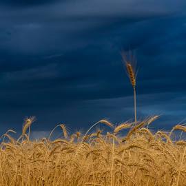 Storm Clouds Over Grain Field by Silvana Baumann - Landscapes Prairies, Meadows & Fields ( field, grain, weather, cloud, storm )