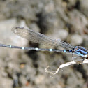 Blue-ringed Dancer Damselfly