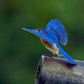 Bluebird on Cannon by Don Holland - Animals Birds ( flight, shiloh, morning, visitor, cannon )