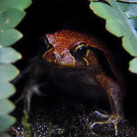 Frog by Shawn Thomas - Animals Amphibians