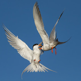 Love is in the Air by Phoo (mallardg500) Chan - Animals Birds ( terns )